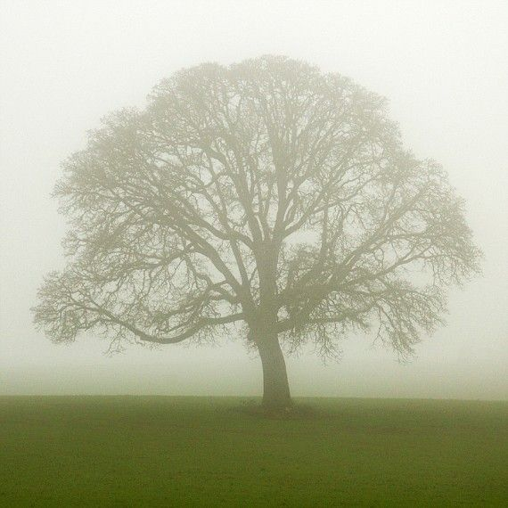 """Lone Tree Photo """"The Solitary One"""" Tree Art, Green Nature Photography, Bare Tree in Fog White Winter Tree Picture Wall Decor, Oak Tree Print"""