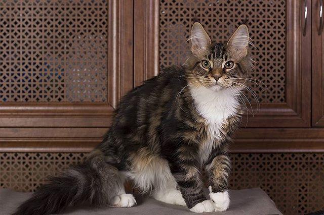 WEBSTA @ ulianabelous_estatepearls - Karlsson Estate Pearls'RU свободен! Обладает прекрасным характером и красивым окрасом. Очень нежен и ласков.Estatecoons.ru#свободен #мейнкунпитомник#котмейнкун #купитькотенка #кунята #котенок #estatepearls  #mainecoon #kitten #cats #animals