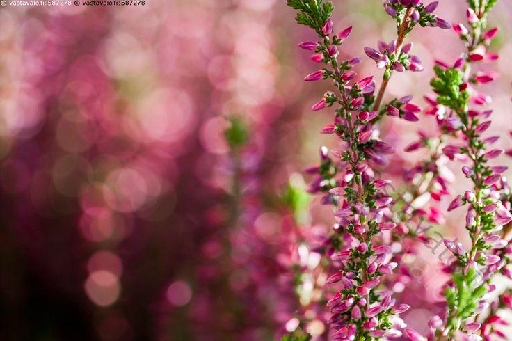 Kanerva - kanerva punainen Calluna vulgaris kasvi kanervakasvi varpu kauppayrtti…