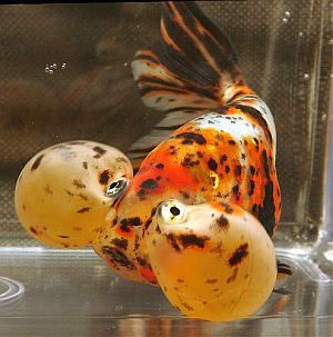 EYE CARUMBA!  Bubble eye Goldfish