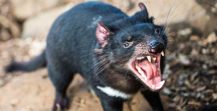 Тасманийский дьявол перестал наводить ужас на своих жертв / Новости / Моя Планета