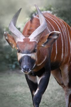 Bongo (Tragelaphus eurycerus) Endangered - Red List of endangered species