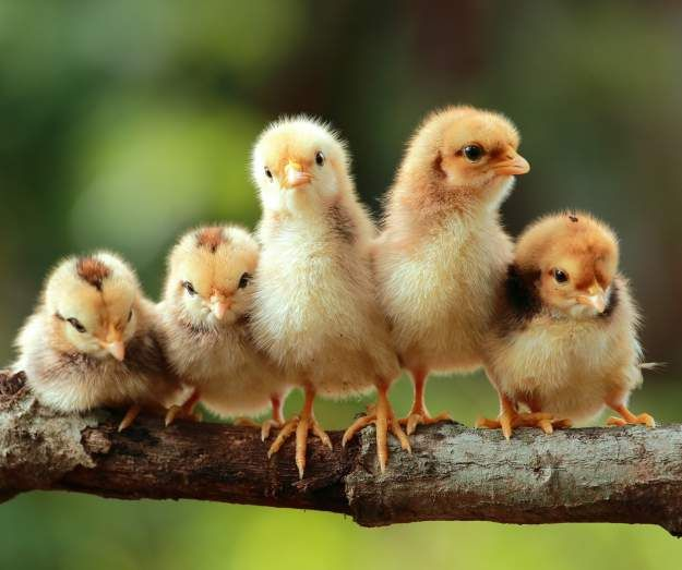 Did you look at cute chick pictures and decided to raise them in your backyard? Here are a few things that you must read: http://bit.ly/2mFkJKA #breeds #chicken #eggs #raisingchickens #feed #organicfeed #thursday #smallyard #backyardchickens #tips