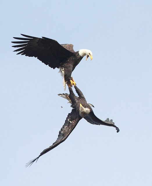 Eagles death defying sky dance ritual is the most beautiful demonstration of nature.  I found this photo and just had to share it with everyone.    Bald Eagle Mating Ritual by Canonshooterman, via Flickr