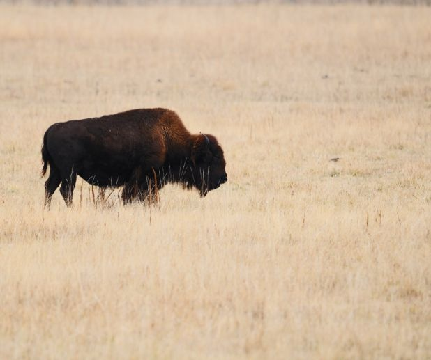 Manitoba bison at FortWhyte Alive, Winnipeg, Manitoba.