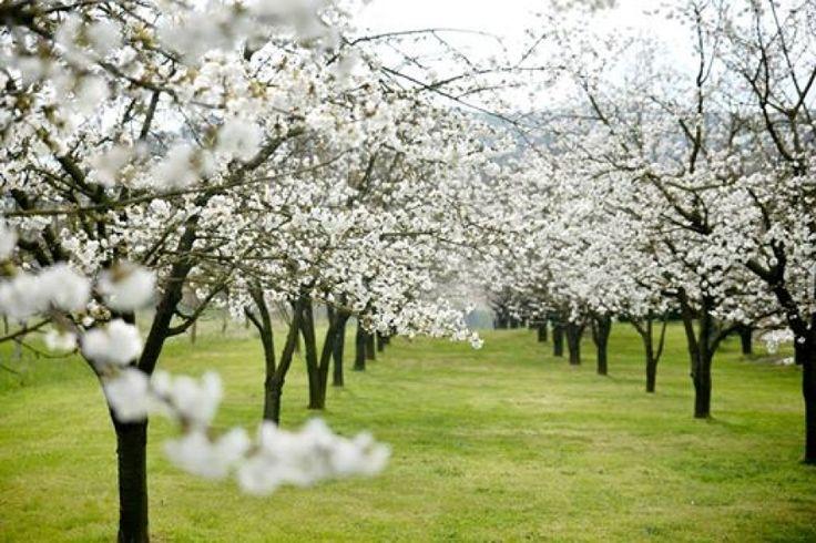 Pontelatone, ciliegi in fiore