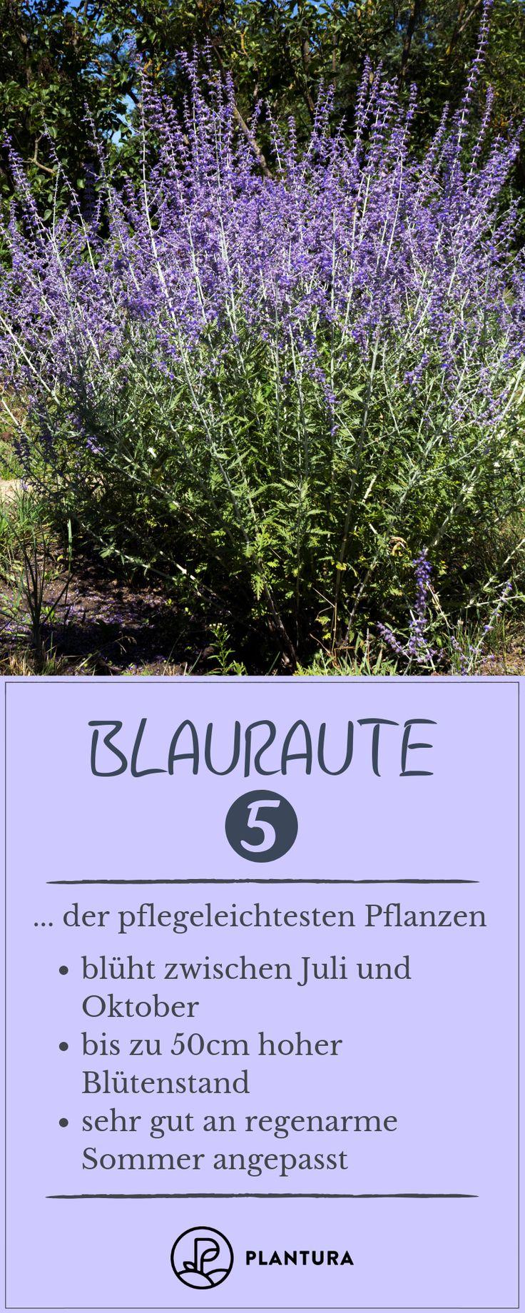 Blauraute – Platz 5 der pflegeleichtesten Pflanzen: Die Blauraute ist perfekt an… – Gartenheldinnen Gruppenboard