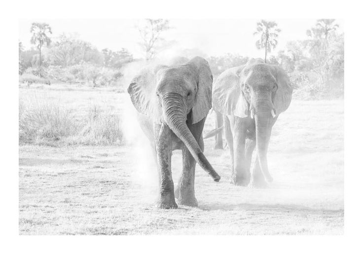 BW images of elephants in dust
