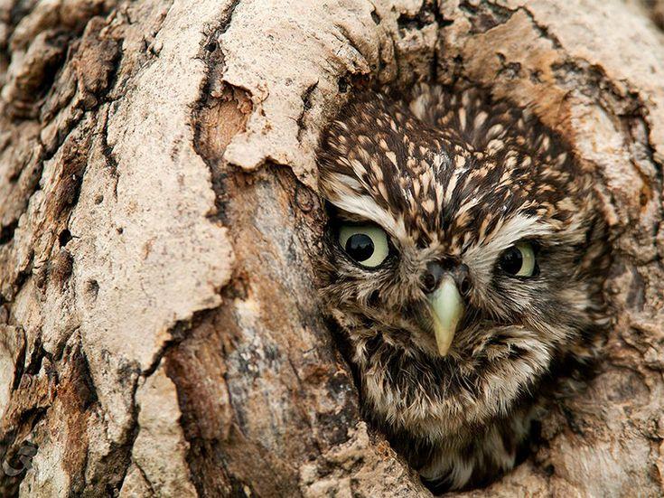 Saluti dal tronco  Fotografia di Karthik Vilwanathan, National Geographic Your Shot  Un gufo in una cavità nel tronco di un albero in Northumberland, Regno Unito.