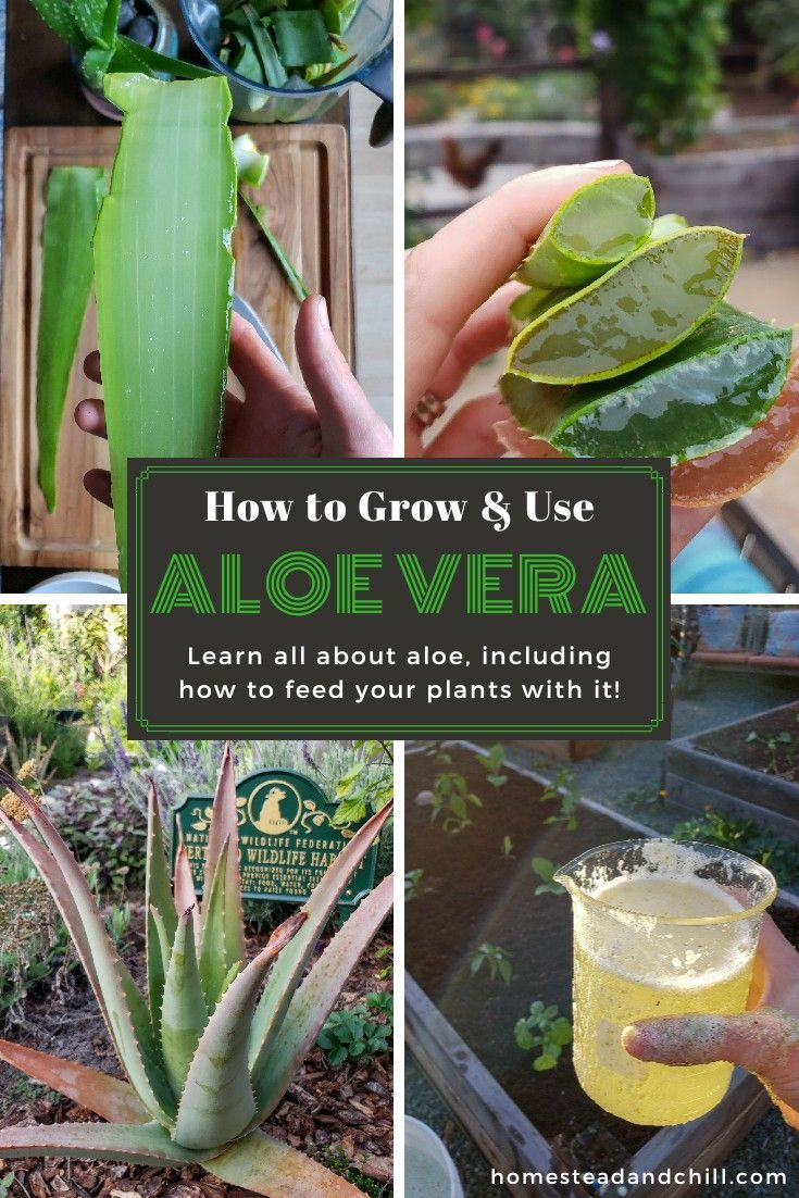 How To Take Care Of Aloe Vera How To Grow Use Aloe Vera In The Garden Beyond Homestead And Chill Aloe Vera Plant Plant Care Aloe Vera Plant Indoor