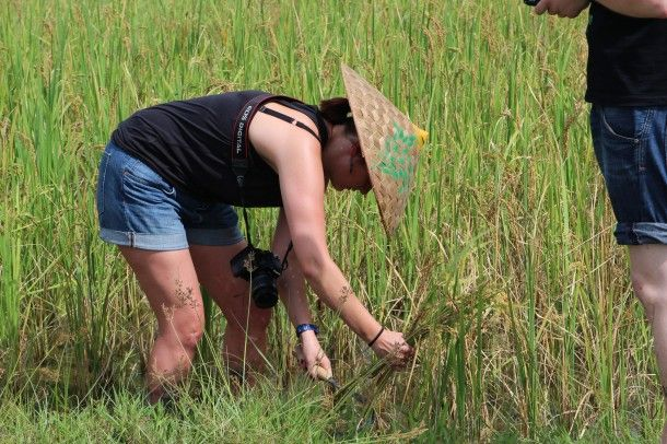 Learn how to harvest rice in a traditional way at the Living Land Farm in Luang Prabang, Laos