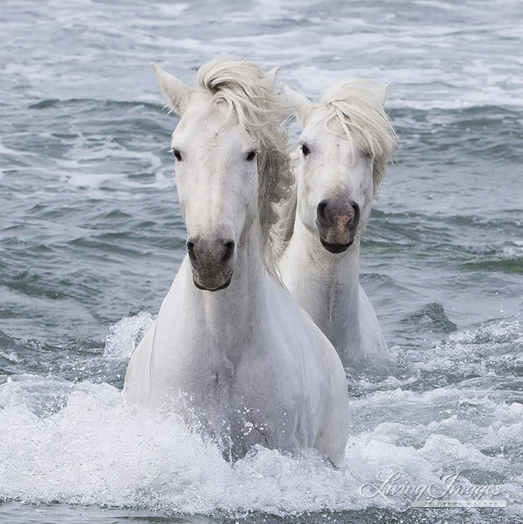 2016 Beautiful White Horses Of The Camargue More