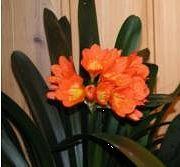 Isopunasarja - Clivia miniata - Mönjelilja