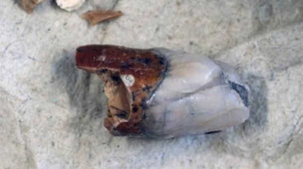 "Tooth from Homo Erectus, ""Peking Man"" found at the Museum of Evolution, Uppsala University."