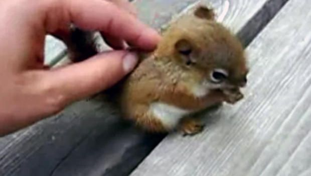 Probably the cutest baby squirrel video you will ever see - CBS News