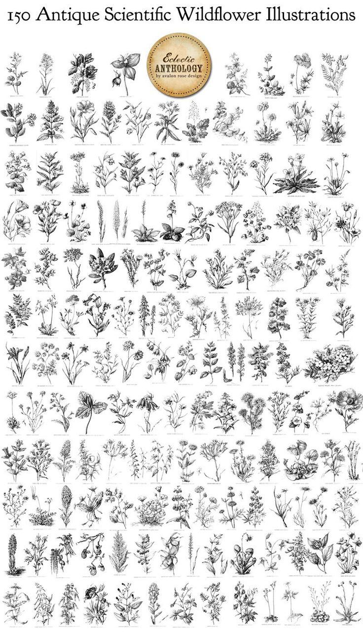 150 Antique Scientific Wildflowers Illustrations – Vectors Brushes and PNGS-vintage, public domain, graphics, wildflower, illustrations, flo… | Tattos A