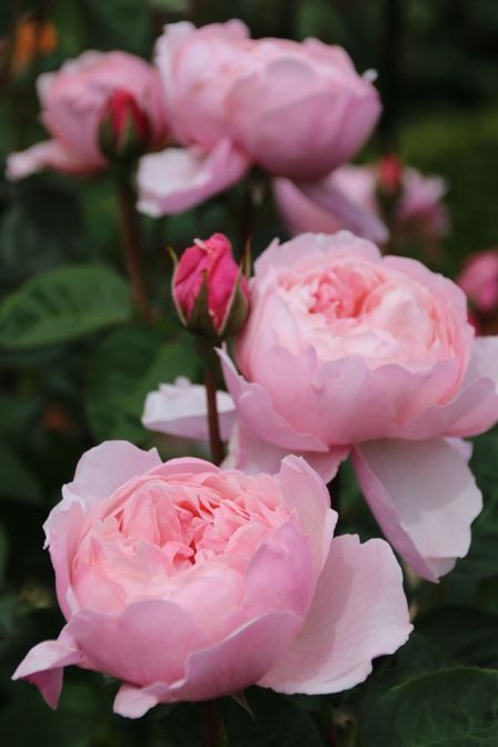'The Alnwick Rose' ~ medium shrub with Old Rose fragrance and a hint of raspberry