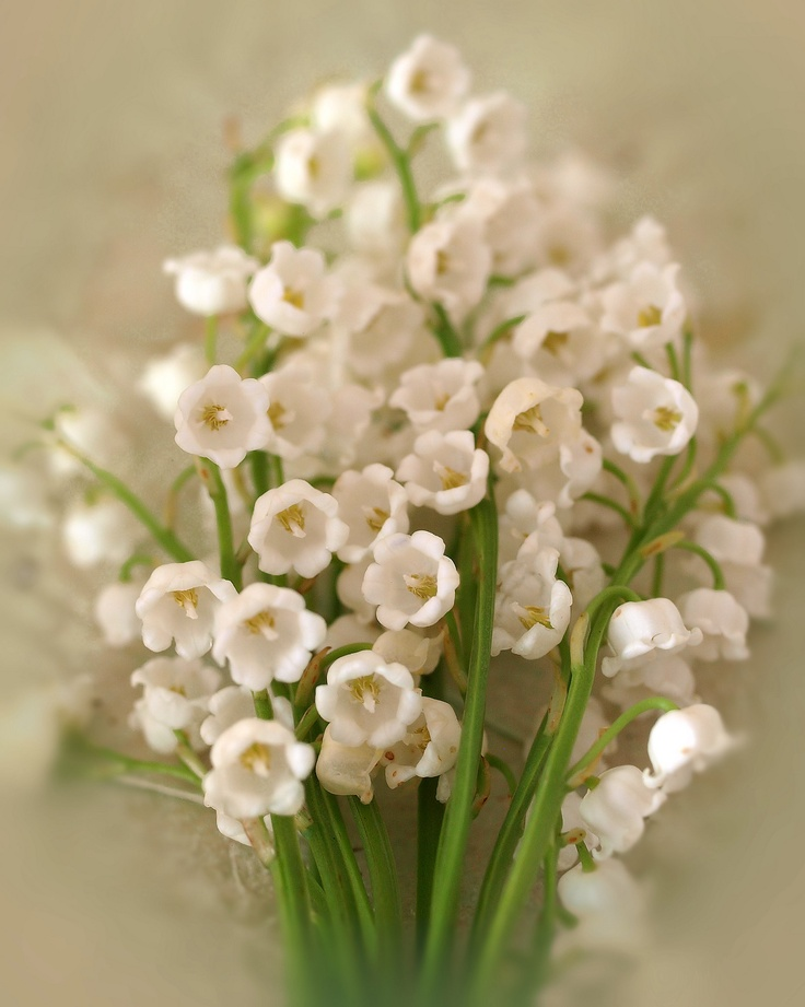 best lily of the valley images on, Beautiful flower