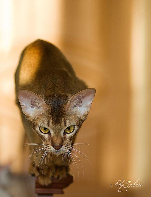 Abyssinian cat Bjork ~ Oleg Alexeev