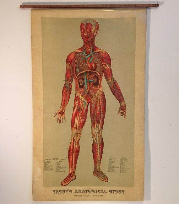 1885 Wall Chart of the Human Body Rare Original 17x29