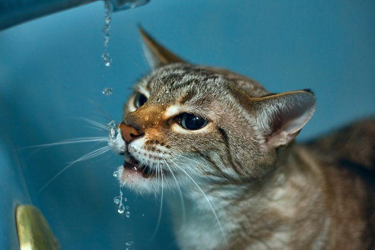 Feline Interstitial Cystitis Symptoms, Causes