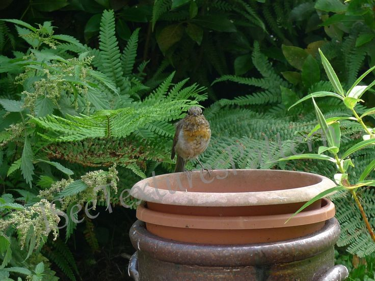 Robin on pots, photograph instant digital download, green foliage, nettles in flower, fern, young speckled robin three pots, texture pattern by ISeeTexturesPattern on Etsy