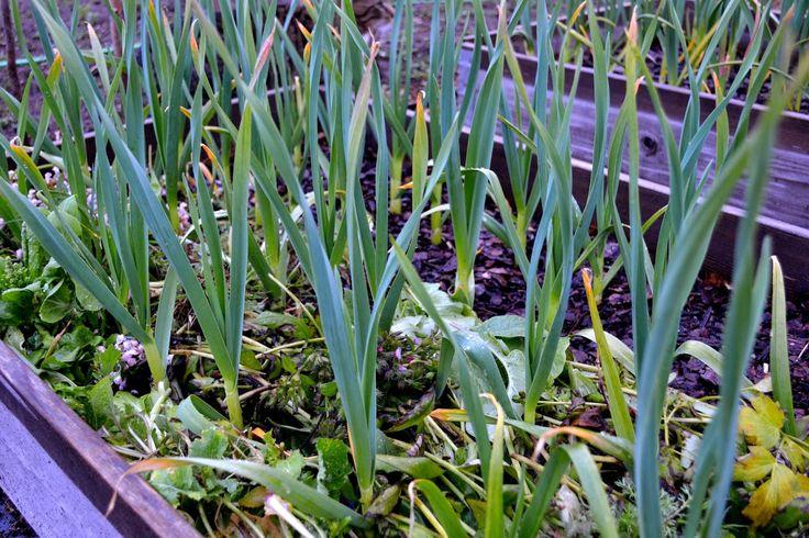 Garlic leaves for sandwiches. http://www.skillnadenstradgard.blogspot.se/2015/01/smorgasgronsaker-att-odla-i-var.html #garden #gardening #vegetables #trädgård #odla #grönsaker