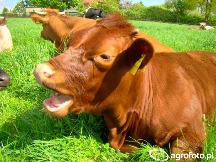 #krowa #zwierzęta #rolnictwo #rolnik