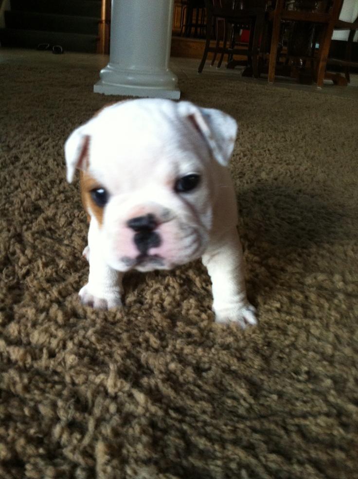 English Bull Dog puppy :) yo quiero