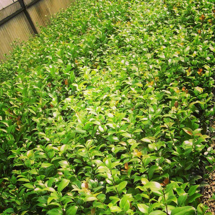 Piccole #piante di #camelia che crescono... Solo su http://shop.piantefrosini.it