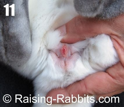 How to sex a rabbit strip photo 23