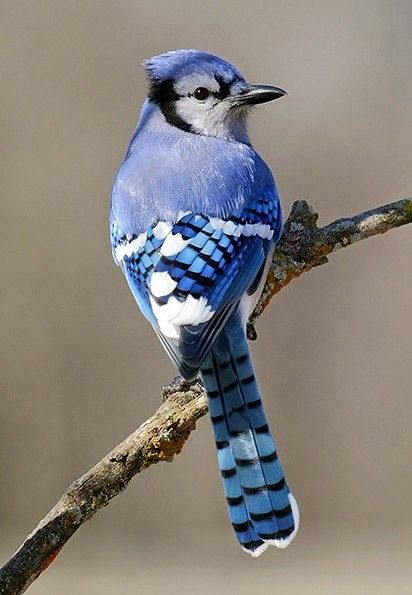 El arrendajo azul o urraca azul (Cyanocitta cristata) Simplemente precioso, ¿no creéis?