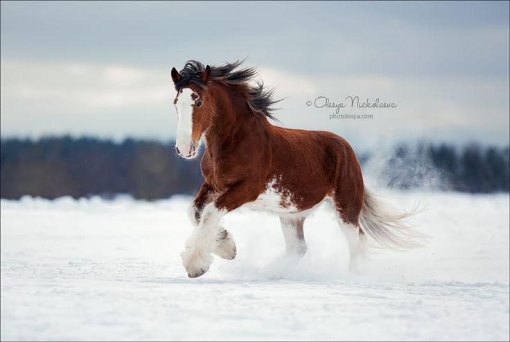 mare Fiona, Clydesdale horse © Olesya Nickolaeva photolesya.com