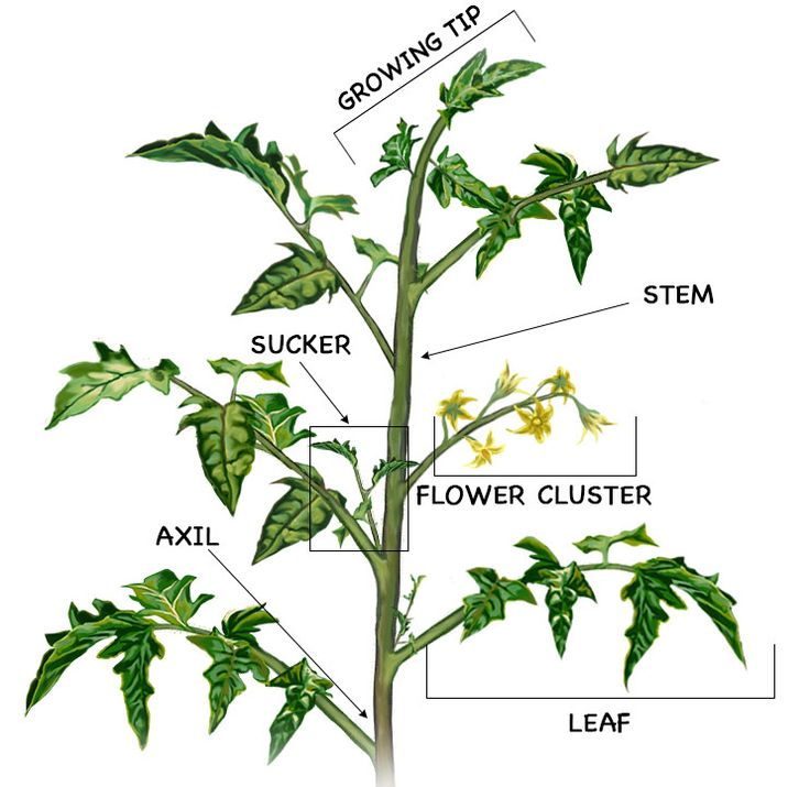 Prune Tomatoes: diagram of tomato plant