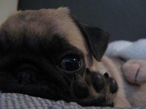 10 reasons: Why we love Budha the pug