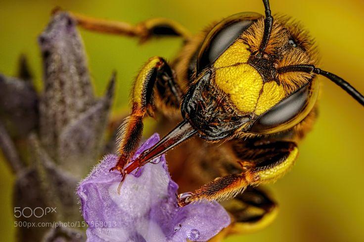 Feeding European Wool Carder Bee I by dalantech. @go4fotos