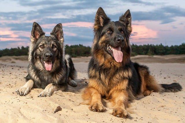 German Shepherd training tips. #germanshepherd #training #dogs