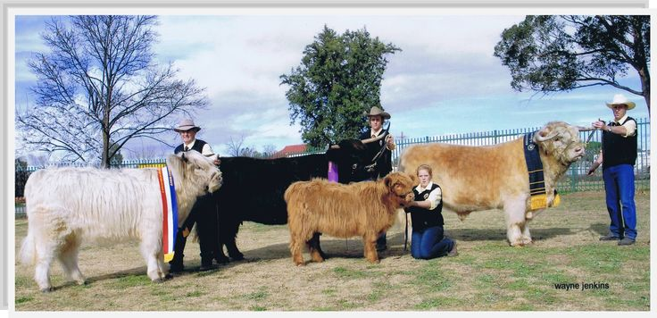 2011 Australian Highland Cattle Society National Show  Ennerdale Highlands  Supreme Exhibit, Grand Champion Female and Junior Champion Female www.ennerdalehighlands.com