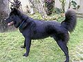 KINTAMANI spitz dog breeds
