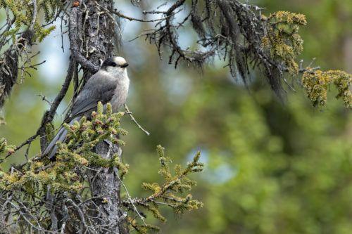 Canada Jay Feederwatch In 2020 Wild Birds Unlimited What Is A Bird Rare Birds