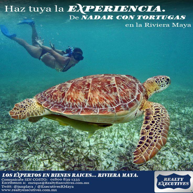 Experiencias únicas de la Riviera Maya como el Nado con Turtugas, estos hermosos seres vivos que nos visitan año con año a desovar en nuestra playas.
