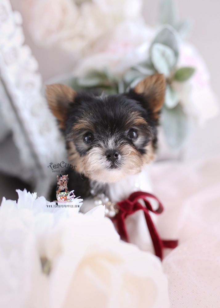 Beautiful Biewer Yorkie Puppy By Www