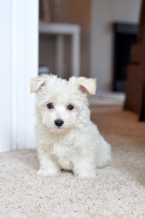 westiepoo - westie/poodle mix  Did not know where to Pin.  He is so cute.  I want him in Black.