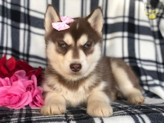 Alpine Siberian Husky Puppy For Sale In Lincoln University Pa