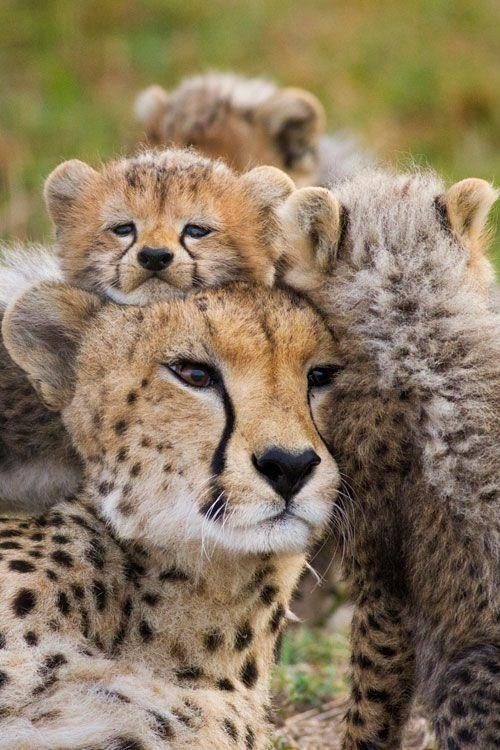 Cheetah family   they are great mamas