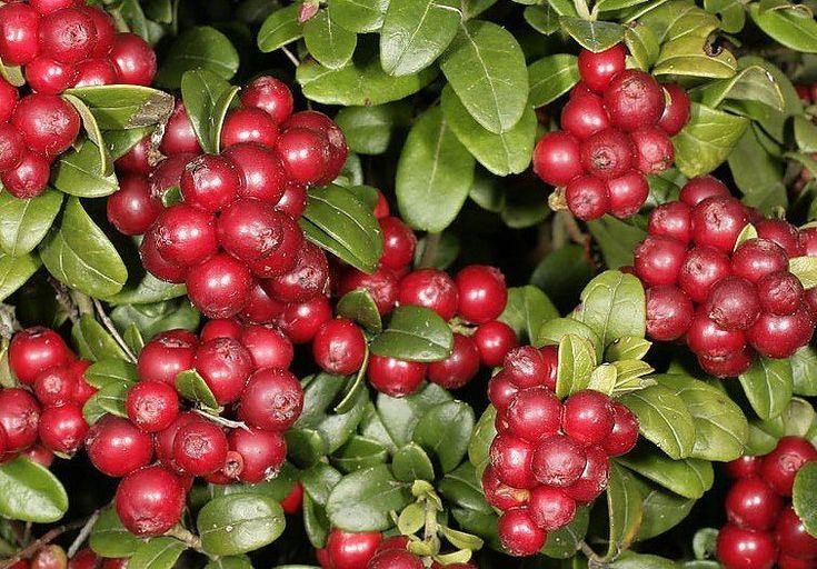 Gyógyító növényeink A vörös áfonya az antioxidánsok mellett sokféle ásványi anyagot, például nátriumot, foszfort, káliumot, kalciumot, vasat, magnéziumot, mangánt, cinket és ként is tartalmaz, valamint kitűnő A-, B-, és C-vitamin-forrás. (A MAGYARSÁG A MAG NÉPE)