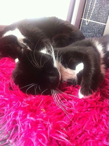 Lost from Thornaby-on-Tees near Victoria Road area. Not been seen since Wednesday night 5.10.16. Out of character for him to not come home for at least one meal since then.He is chipped and neutered.