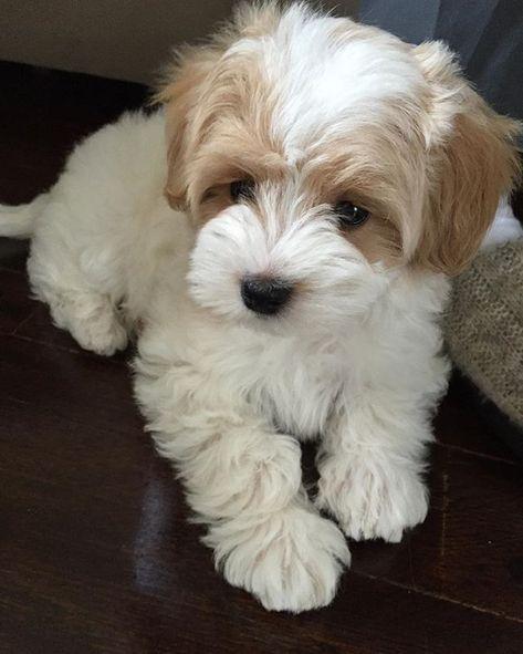 25 adorable dog hybrids of which you had no idea – Happy puppy love – #noise #denen # adorable #Happy #had
