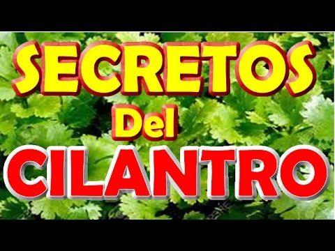 CILANTRO secretos CURATIVOS del CILANTRO