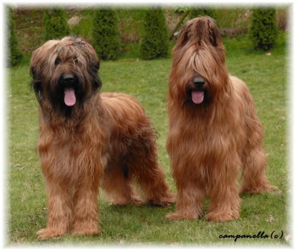 The dog in world Briard dogs Papillon, Briard, ( France